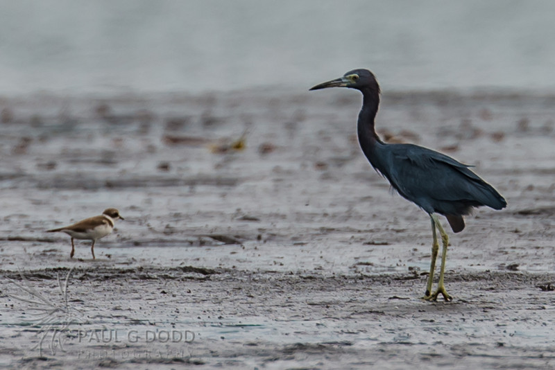Little Blue Heron & Wilson's Plover