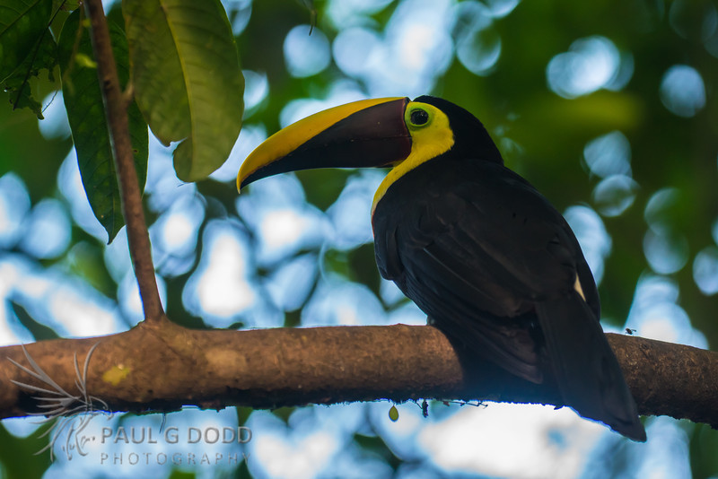 Black (Chestnut) Mandibled Toucan