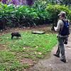 Collared Peccary at La Selva