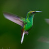 Coppery-headed Emerald (male)
