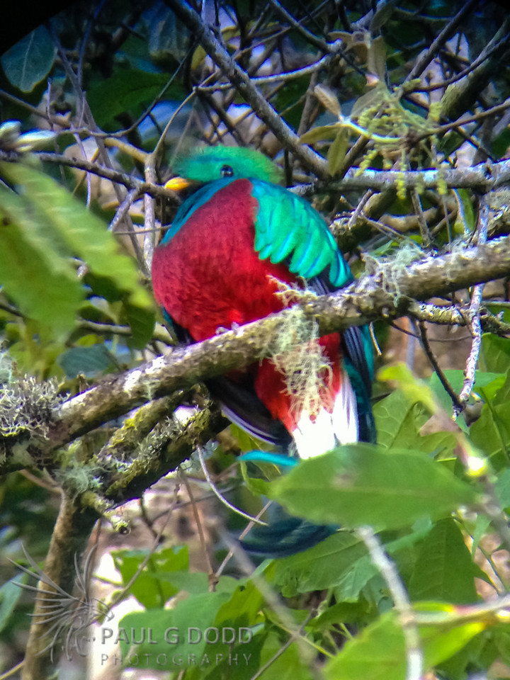 Resplendent Quetzel (iPhone digiscope)