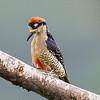 Black-cheeked Woodpecker (female)