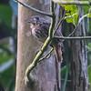 White-whiskered Puffbird