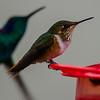 Scintillant Hummingbird (female)