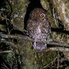 Bare-shanked Screech-Owl (iPhone digiscope)