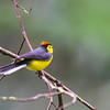 Collared Whitestart (Redstart)