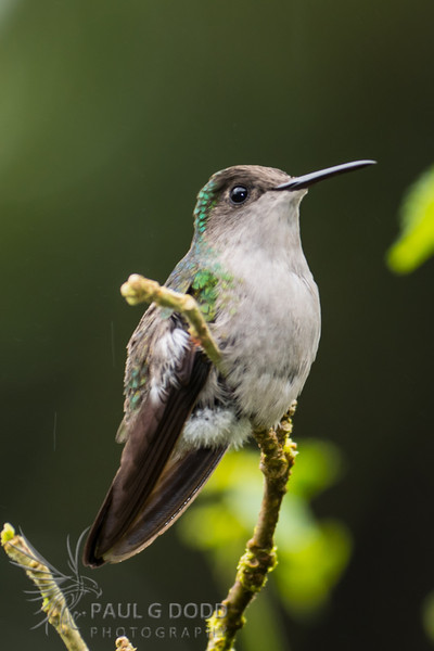 Black-bellied Hummingbird (female)?
