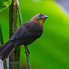 Red-throated Ant-tanager (female)