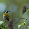 Sooty-capped Bush-tanager