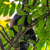 Golden Mantled Howler Monkey
