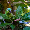 Mealy Parrot (Amazon)