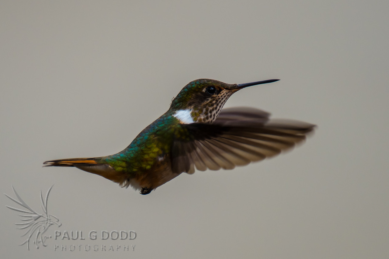 Scintillant Hummingbird (female)