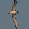 Shy Albatross (juv)