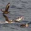 Brown Skua, Buller's Albatross