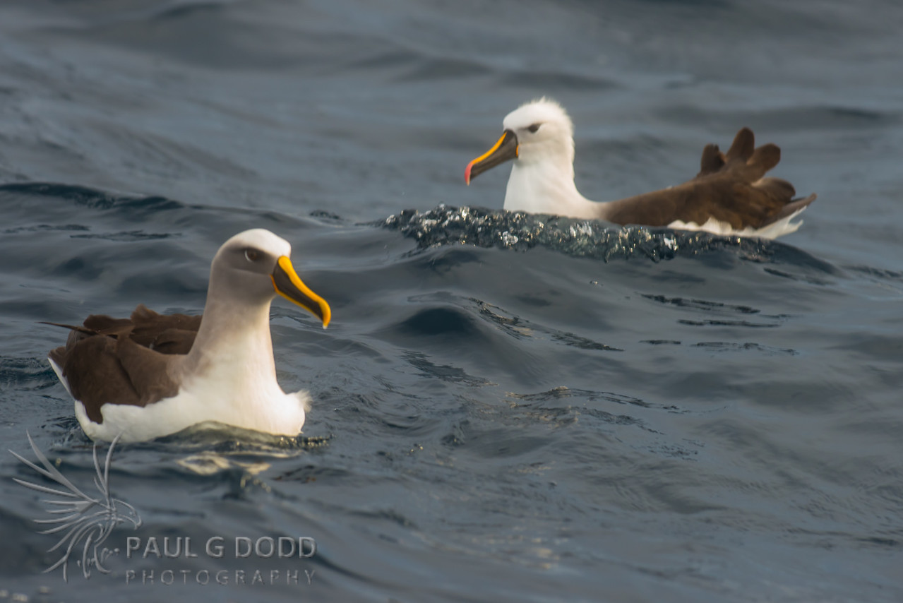 Buller's Albatross, Indian Yellow-nosed Albatross