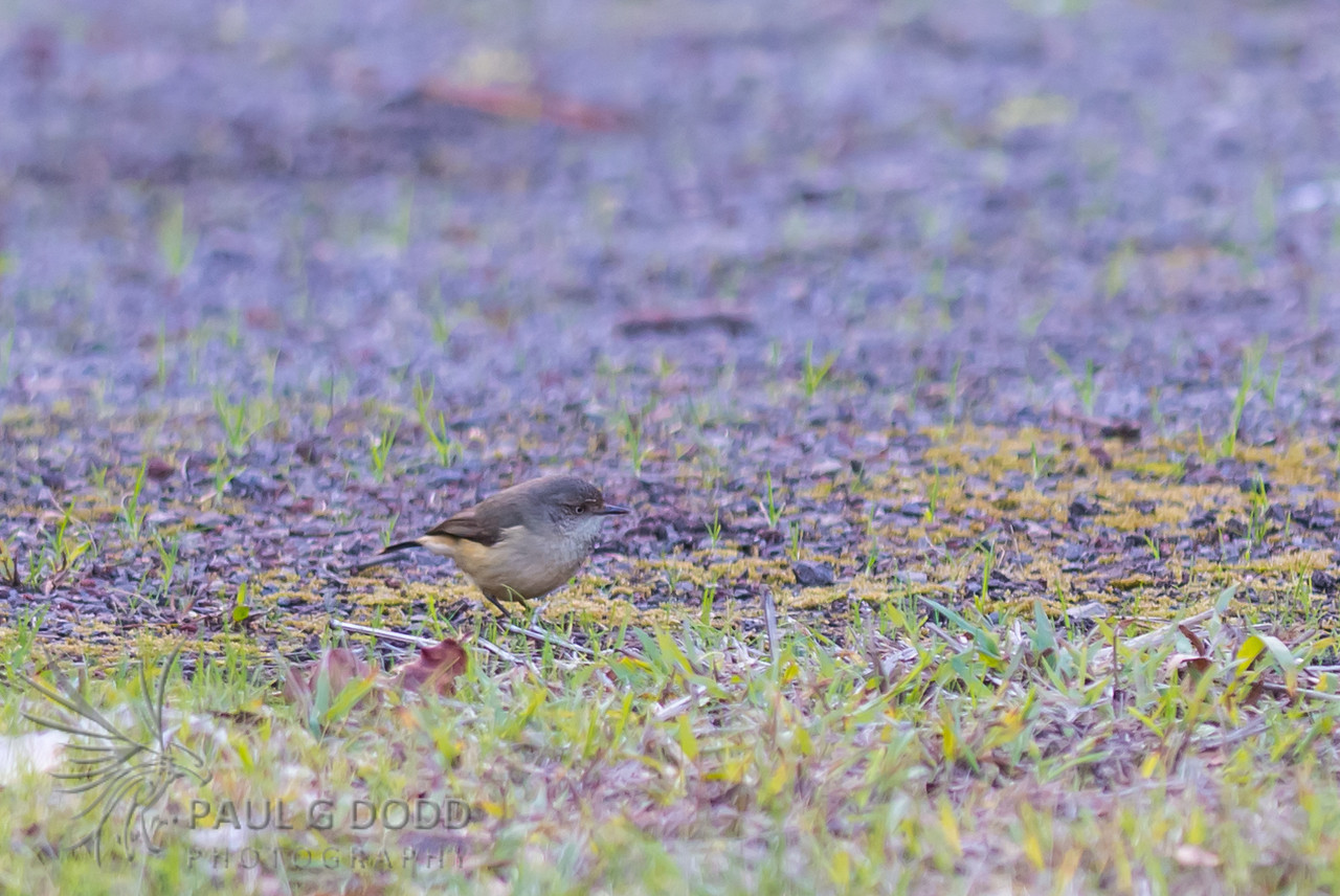 Buff-rumped Thornbill