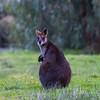 Swamp (Black) Wallaby