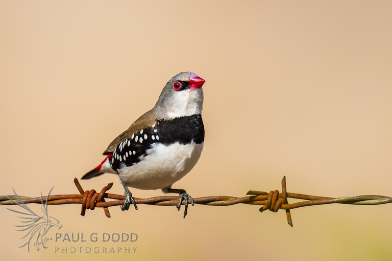 Diamond Firetail