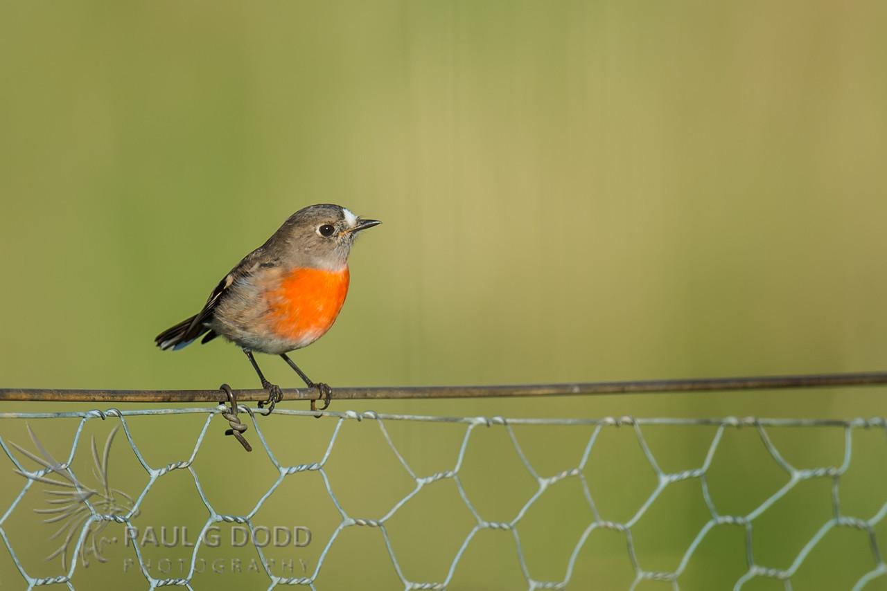 Scarlet Robin (fem)