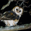 Australian (Tasmanian) Masked Owl
