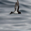 Grey-backed Storm-petrel