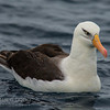 Campbell (Black-browed) Albatross