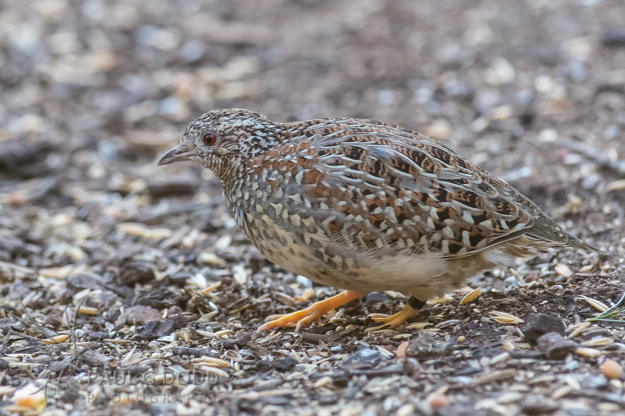 Painted Button-quail