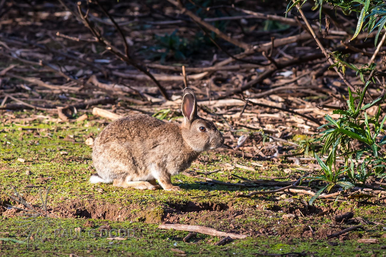 European Rabbit