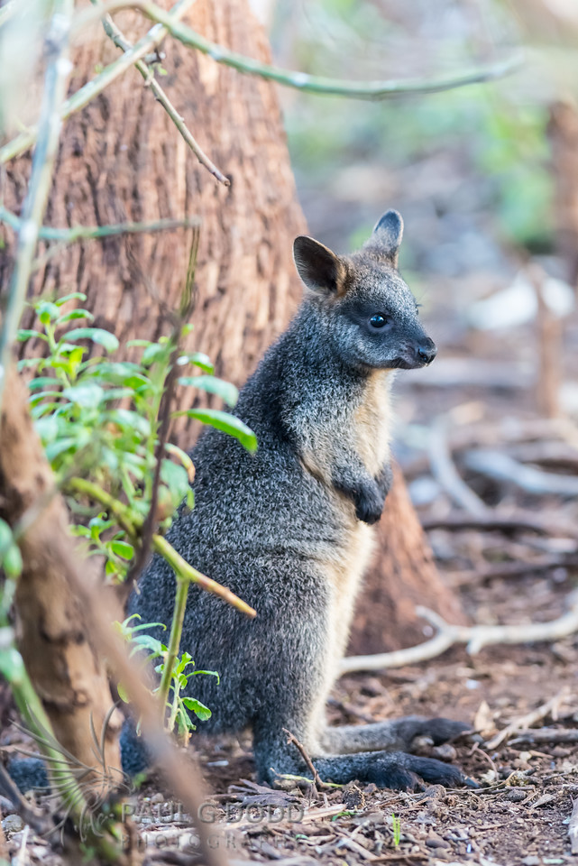 Swamp (Black) Wallaby