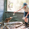 Tiger (Spotted-tail) Quoll