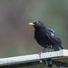 Common (Eurasian) Blackbird