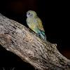 Red-rumped Parrot (fem)