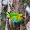 Purple-crowned Lorikeet