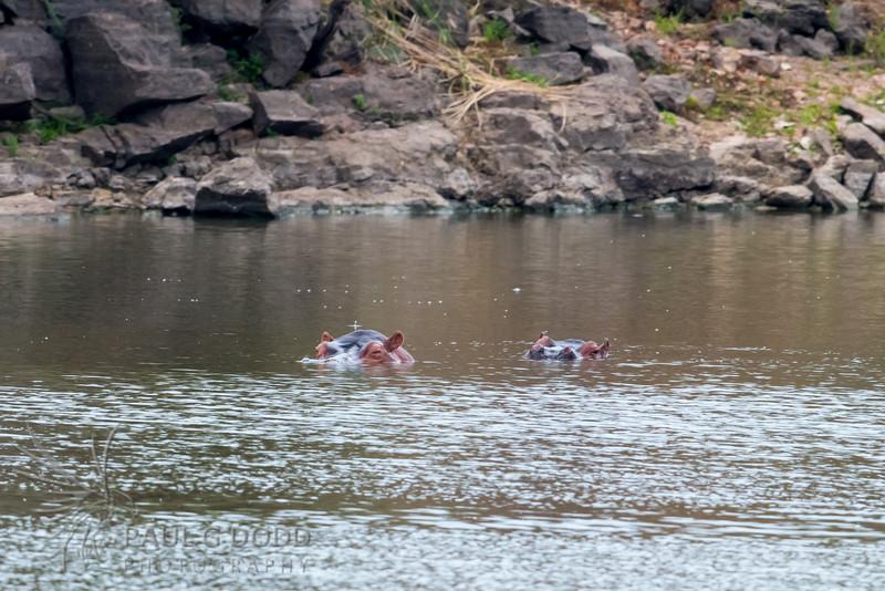 Common Hippopotamus