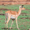 Impala, Red-billed Oxpecker