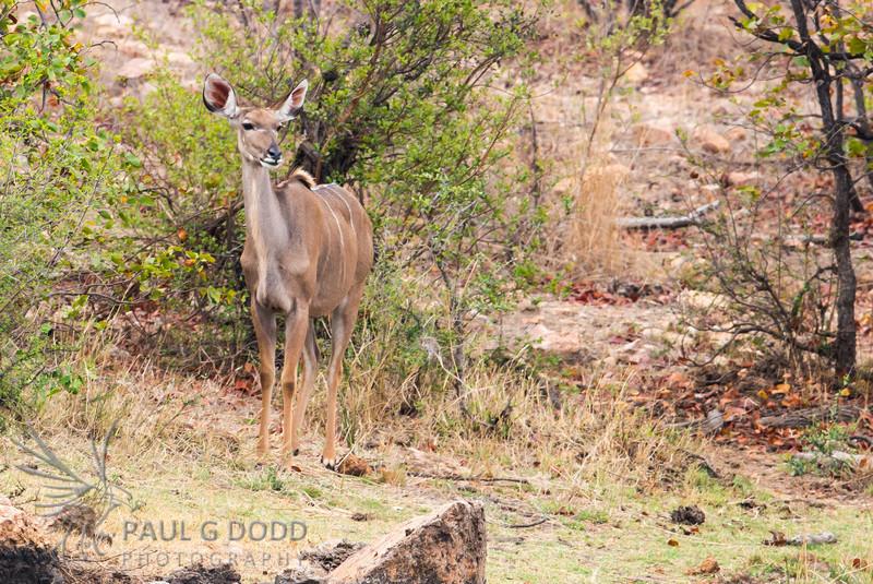 Greater Kudu (fem)