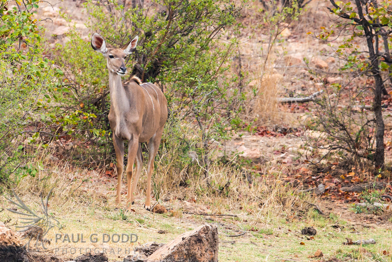 Greater Kudu (fem)