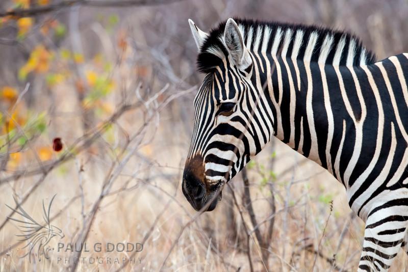 Burchell's (Plains) Zebra