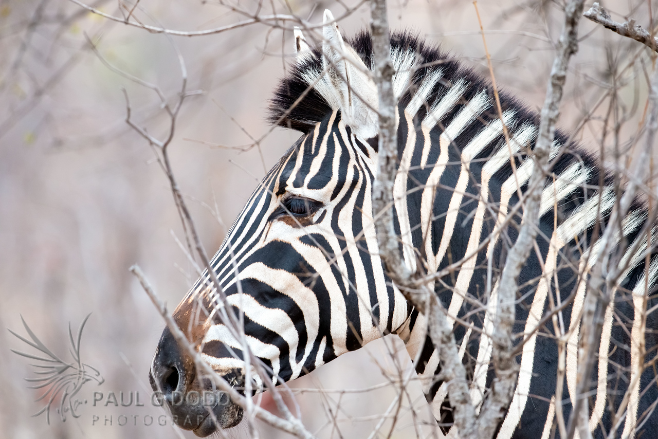 Burchell's (Plains) Zebra