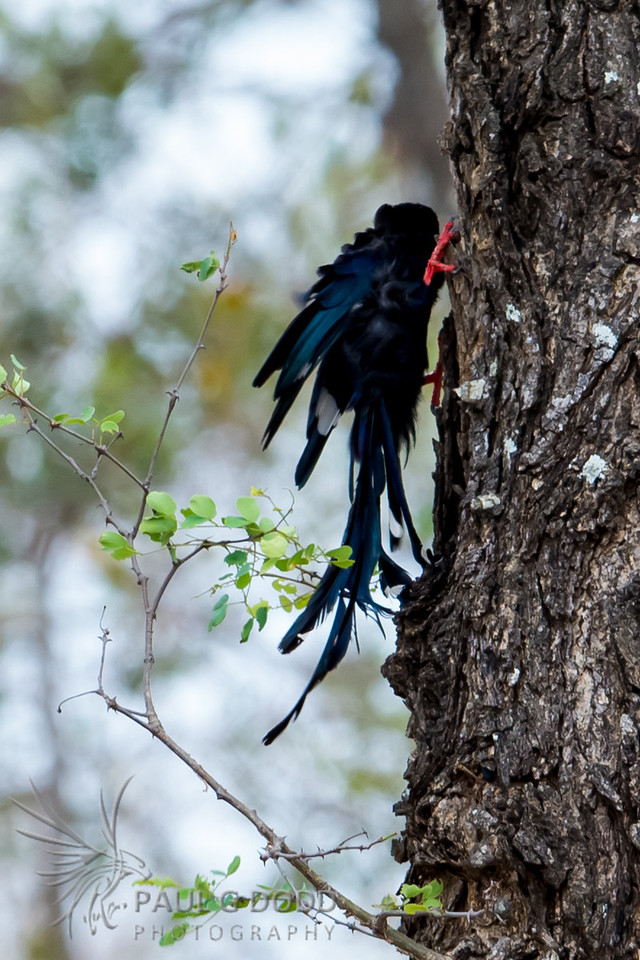 Green Wood Hoopoe
