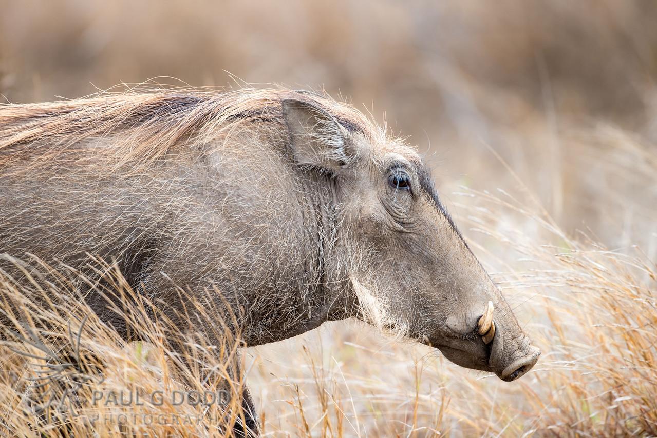 Common Warthog