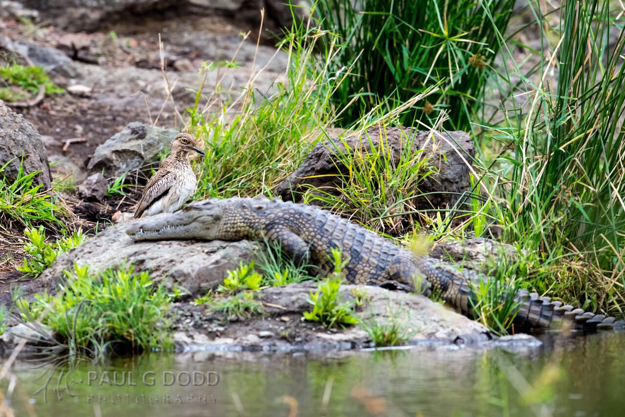 Nile Crocodile, Water Thick-knee