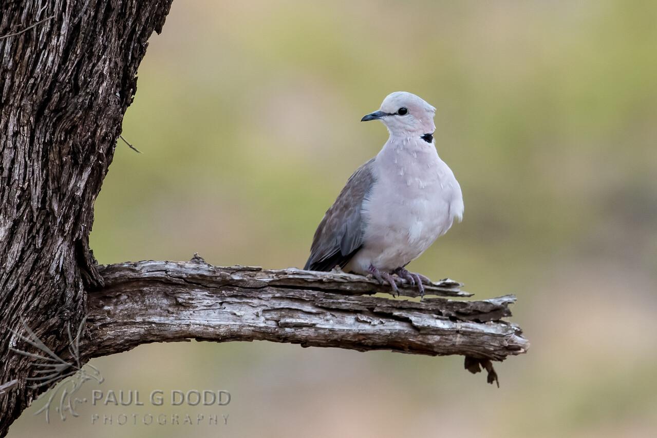 Cape Turtle (Ring-necked) Dove