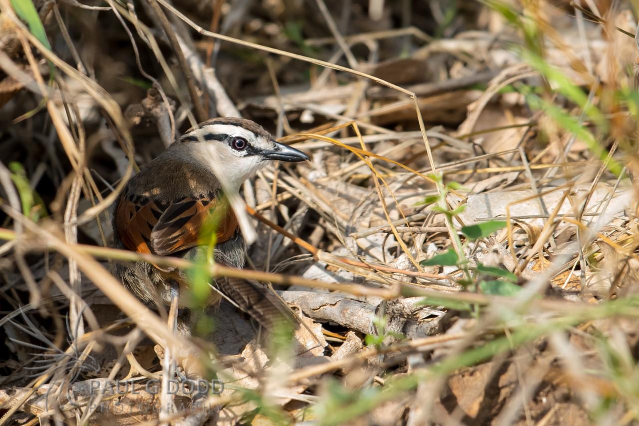Brown-crowned Tchagra