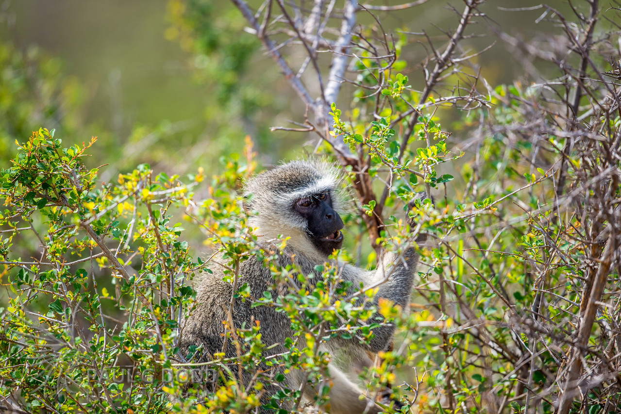 Vervet Monkey