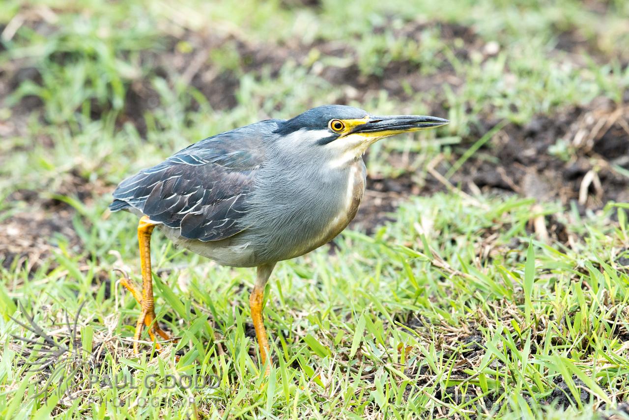 Green-backed (Striated) Heron