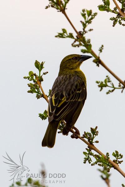 Southern Masked Weaver (fem)
