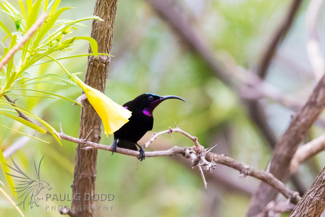 Amethyst (African Black) Sunbird