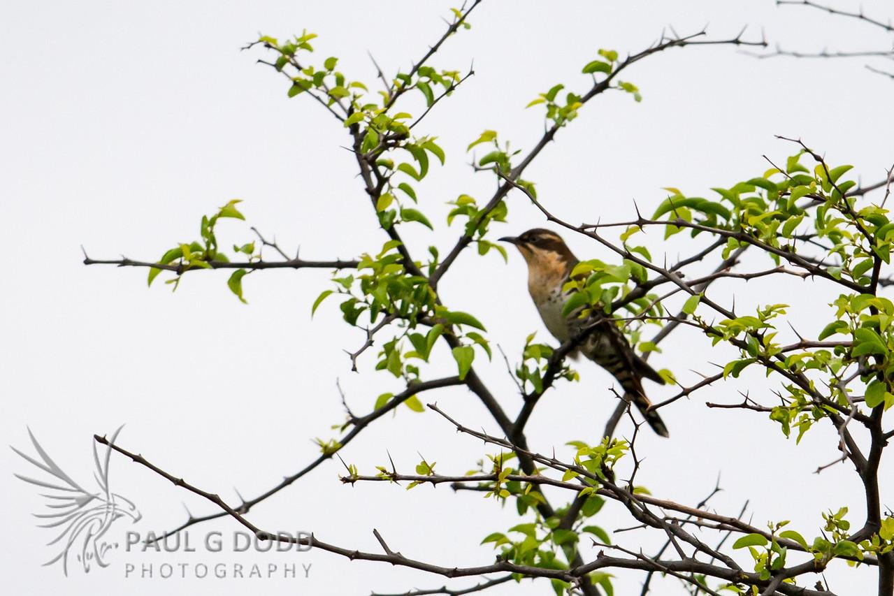 Diederik (Dideric) Cuckoo