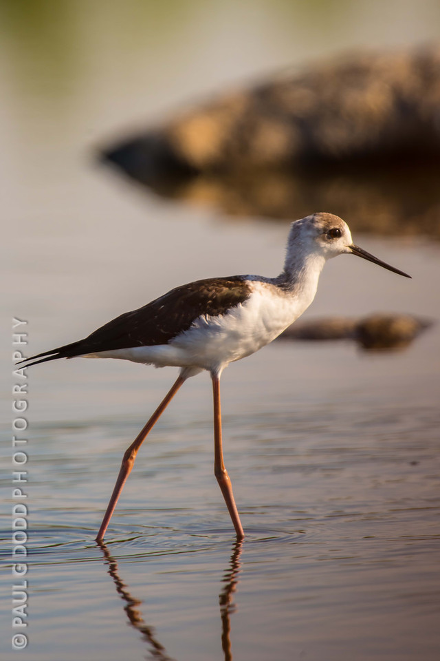 Black-winged Stilt (imm)